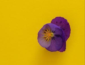 heartsease plant